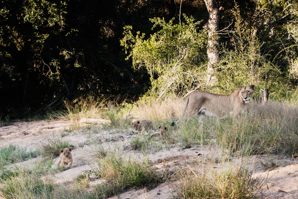 Thornybush lioness with cubs