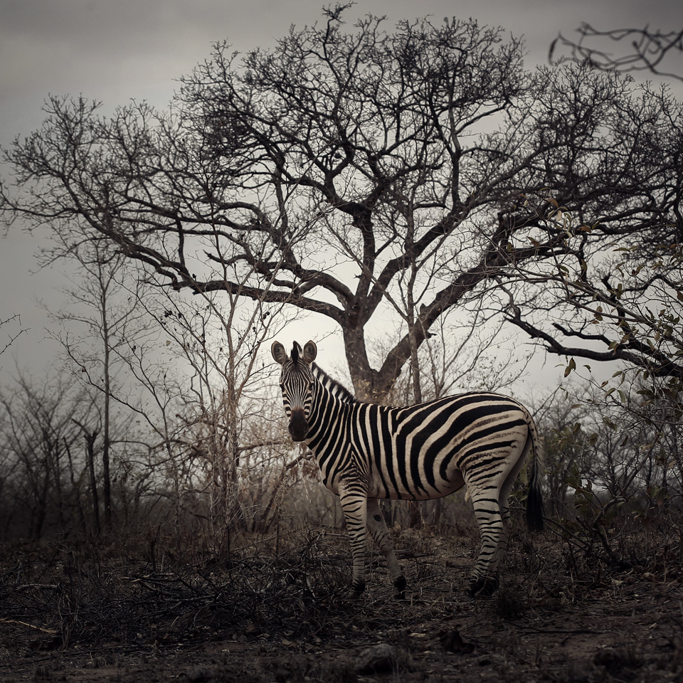 Zebra wedding, Sabi Sand wedding, Ulusaba wedding