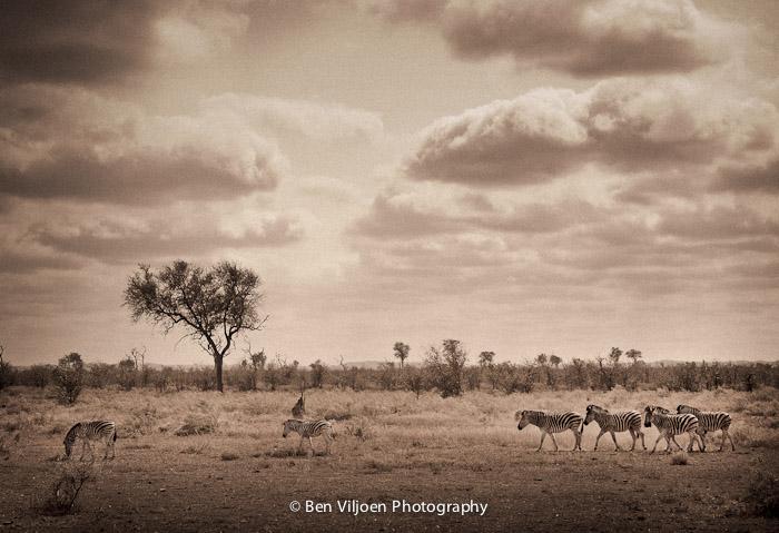 Zebra herd Kruger National Park fine art print