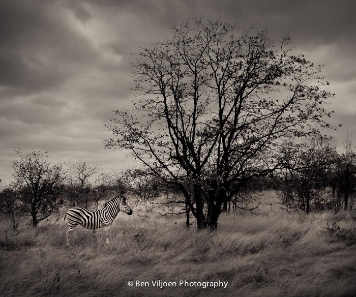 Zebra fine art Kruger National Park