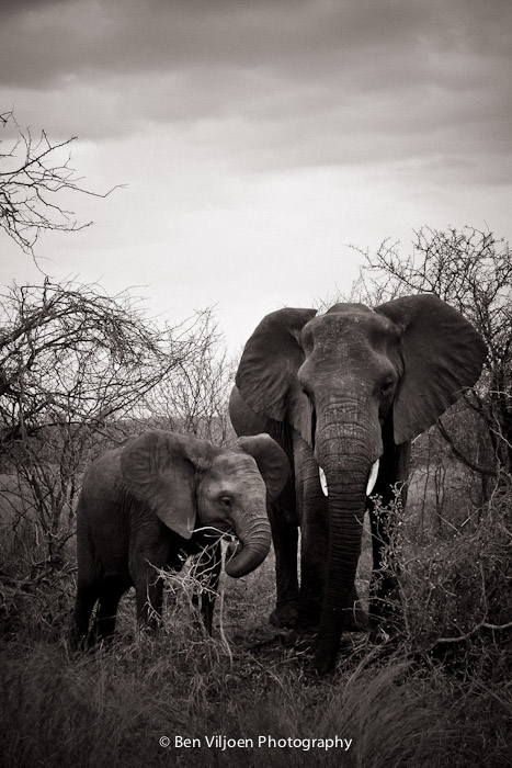 Elephant cow and calf in Kruger National Park fine art