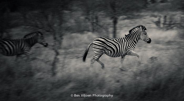 Zebra running fine art print